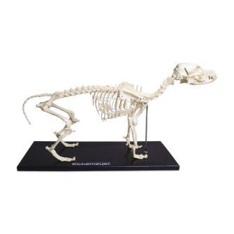 Canine Skeleton Model