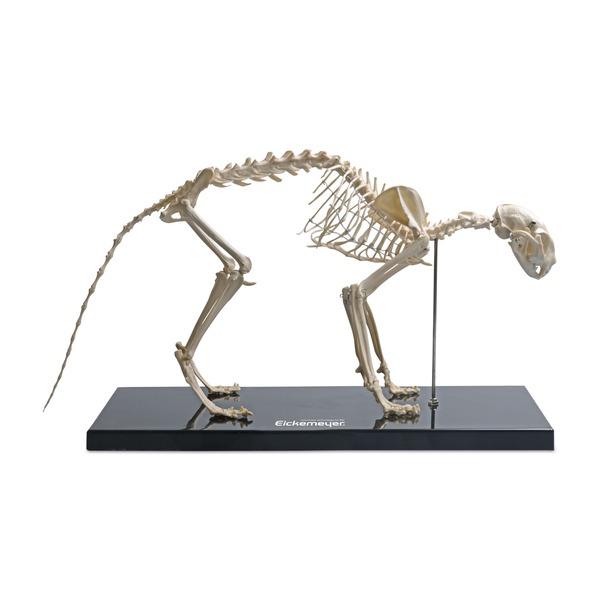 Cat Plastic Skeleton